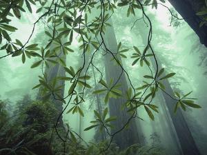 Redwood Trees Soar to Some 350 Feet or More by Dewitt Jones