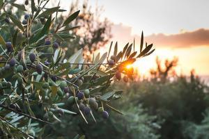 Olive Trees on Sunset. Sun Rays by Deyan Georgiev