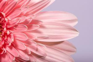Pink Gerbera Flower Blossom by Deyan Georgiev