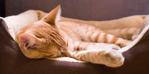Sleeping Orange Cat in Cat Bed by Deyan Georgiev