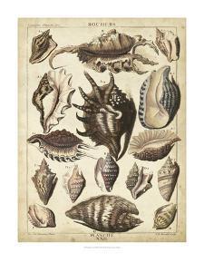 Spider Conch Shells by Dezallier
