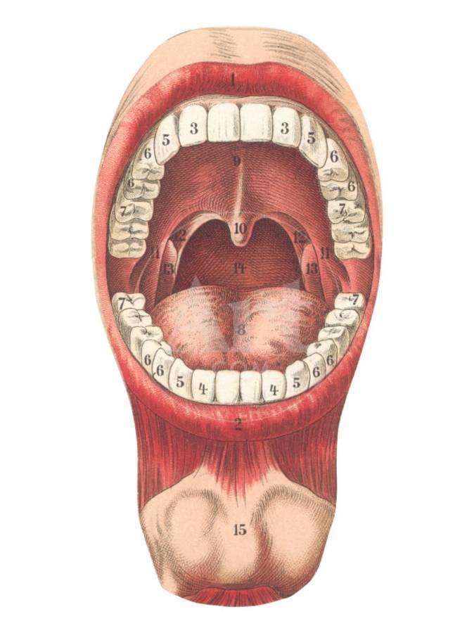 Diagram Of Mouth And Teeth Art Print By Art