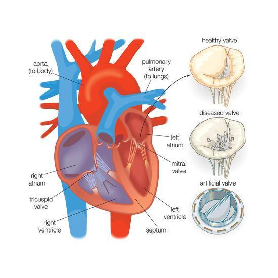 Diagram Of The Human Heart Valve Examples Art Print By