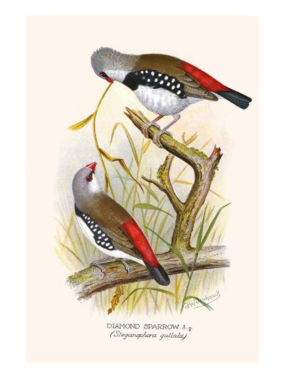 Diamond Sparrow or White Headed Finch-F^w^ Frohawk-Art Print