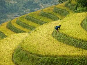 Black H'Mong Woman in Rice Field Terraces Near Tafen Village by Diana Mayfield