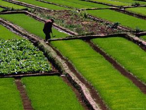 Cabbage Crop and Rice Paddies Near Kunming, Kunming, Yunnan, China by Diana Mayfield