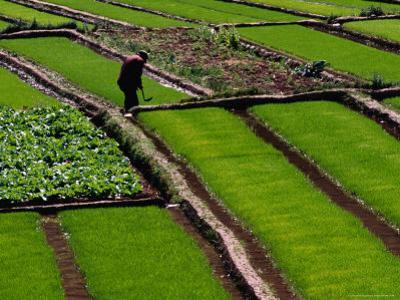 Cabbage Crop and Rice Paddies Near Kunming, Kunming, Yunnan, China