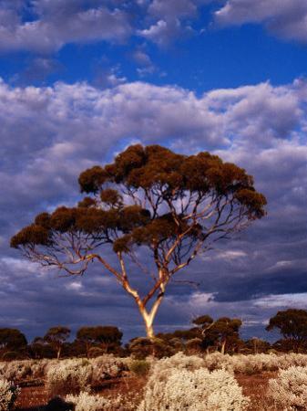 Eucalypt (Eucalypt Sp.) or Gum Tree in Scrub, Nullarbor Plain, Australia
