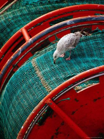 Gull Pecking at Fishing Net at Le Guilvenic, Brittany, France