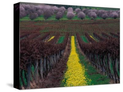 Vineyards and Almond Trees in the Mclaren Vale District, Australia