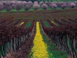 Vineyards and Almond Trees in the Mclaren Vale District, Australia by Diana Mayfield