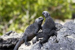 Galapagos Marine Iguanas on the Beach, Isabela Island, Galapagos Islands by Diane Johnson