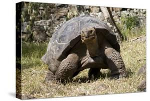 Giant Tortoise in Highlands of Floreana Island, Galapagos Islands by Diane Johnson