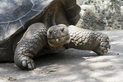 Giant Tortoise in Highlands of Floreana Island, Galapagos Islands