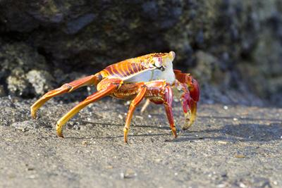 Sally Lightfoot Crab on Floreana Island, Galapagos Islands