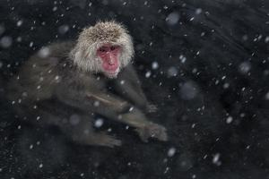 Japanese Macaque (Macaca Fuscata) Adult In The Hot Springs Of Jigokudani, In The Snow, Japan by Diane McAllister
