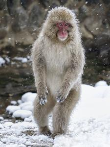 Japanese Macaque (Macaca Fuscata) Female Standing On Hind Legs In Snow, Jigokudani, Japan. February by Diane McAllister