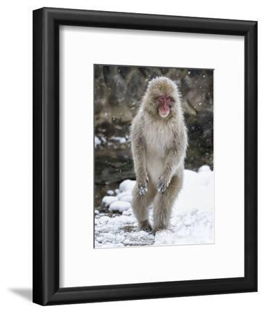 Japanese Macaque (Macaca Fuscata) Female Standing On Hind Legs In Snow, Jigokudani, Japan. February