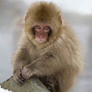 Japanese Macaque (Macaca Fuscata) Juvenile Portrait, Jigokudani, Japan. February by Diane McAllister