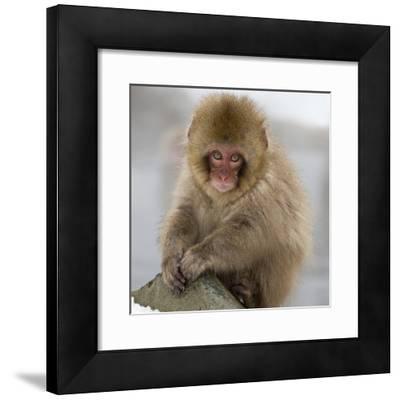 Japanese Macaque (Macaca Fuscata) Juvenile Portrait, Jigokudani, Japan. February