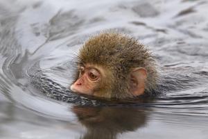 Japanese Macaque (Macaca Fuscata) Juvenile Swimming in Hot Spring, Jigokudani, Japan by Diane McAllister