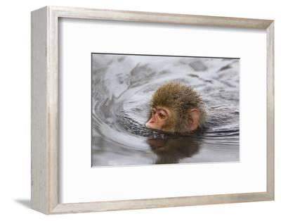 Japanese Macaque (Macaca Fuscata) Juvenile Swimming in Hot Spring, Jigokudani, Japan