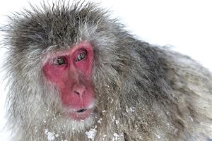 Japanese Macaque (Macaca Fuscata) Male Watching Another Male at the Monkey Park in Jigokudani by Diane McAllister