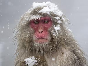 Japanese Macaque (Macaca Fuscata) Mother Holding Her Baby In Snowstorm, Jigokudani, Japan by Diane McAllister