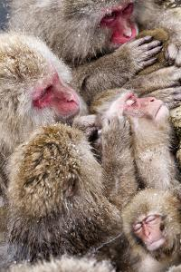 Japanese Macaque (Macaca Fuscata) Mothers Grooming Their Babies In The Hot Springs Of Jigokudani by Diane McAllister