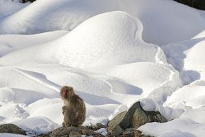 Japanese Macaque (Macaca Fuscata) Perched On The Open Warm Section Of A Rocky Hillside by Diane McAllister