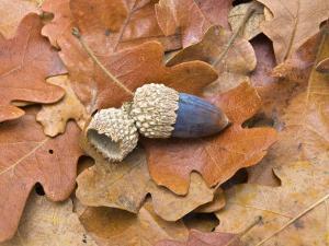 Acorn and Oak Leaves by Diane Miller