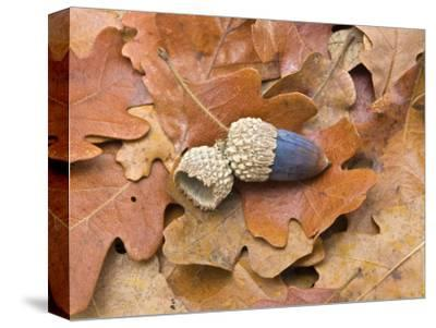 Acorn and Oak Leaves