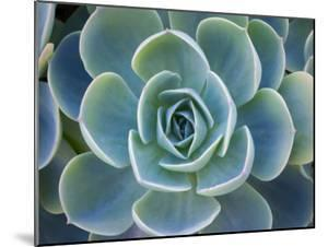 Close-Up of a Succulent Plant by Diane Miller