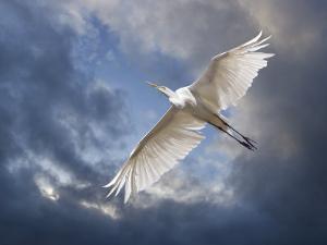 Egret Flying Beneath Dark Clouds by Diane Miller