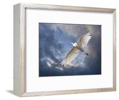 Egret Flying Beneath Dark Clouds