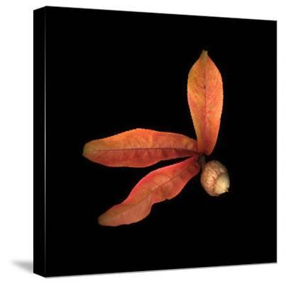 Peach Leaves and Acorn