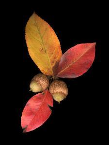Pear Leaves and Acorns by Diane Miller