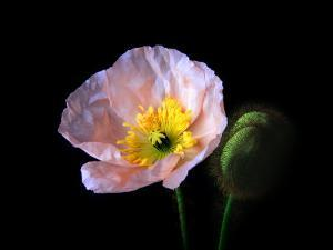 Pink Iceland Poppy Flower and Bud by Diane Miller