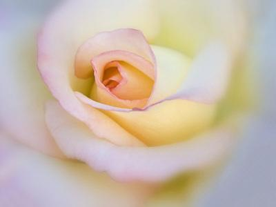 Rose by Diane Miller