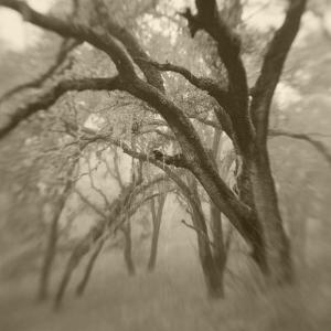 Sepia Toneds Image of Trees in the Wood by Diane Miller