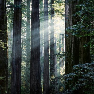 Sunbeams Coming Through Trees in a Redwood Forest