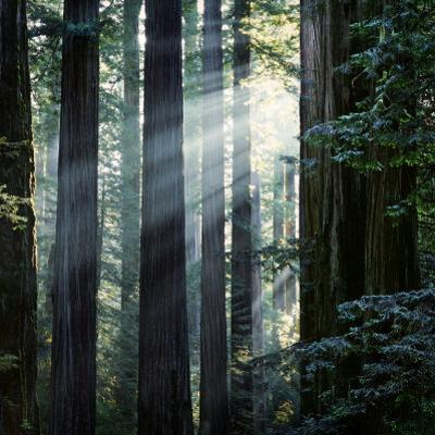Sunbeams Coming Through Trees in a Redwood Forest by Diane Miller