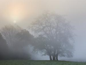 Trees in Fog by Diane Miller