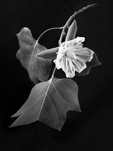 Tulip Tree Blossom by Diane Miller