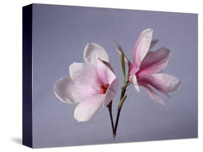 Two Japanese Magnolias, Magnolia Liliiflora