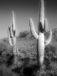 Two Saguaro (Carnegiea Gigantea) Cactii by Diane Miller