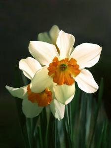 Two White and Orange Daffodils by Diane Miller