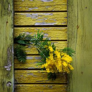 Yellow Acacia Tree Blossoms Against Aging Yellow-Painted Wood by Diane Miller