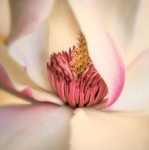 Pink Magnolia by Diane Poinski