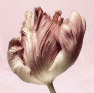 Burgundy Tulip 1 by Dianne Poinski